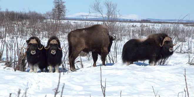 Des bisons pour empêcher la fonte en Sibérie