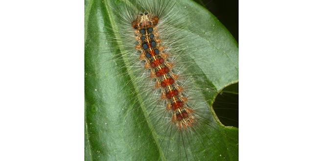 Maâmora: Les insectes défoliateurs ravagent la forêt