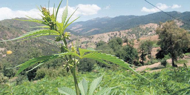Usage licite du cannabis: Le projet de loi adopté