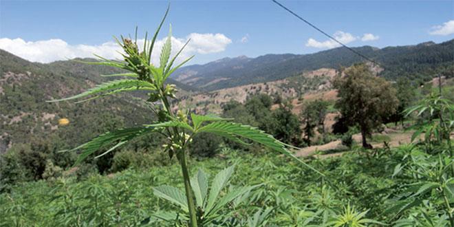 Cannabis: Le programme de développement ciblera 98 communes rurales