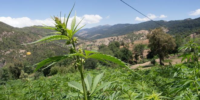 Cannabis : 47.000 ha cultivés au Maroc...