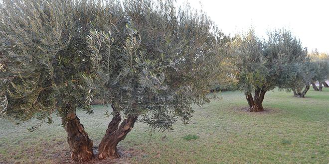Agriculture: À Moulay Yaâcoub, 2.500 ha de céréales remplacés par l'olivier