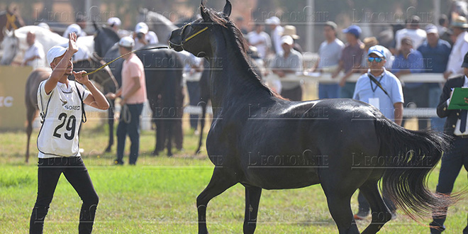 El Jadida: et de 2 pour le Meeting du cheval barbe et arabe-barbe