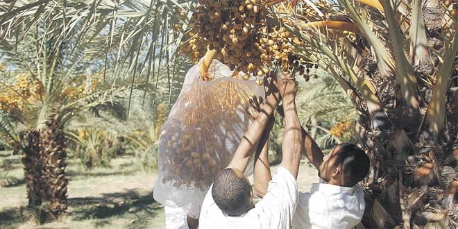 150 millions de DH pour l'entretien des palmeraies et l'emploi