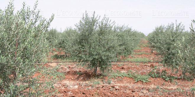 Taounate : Reconversion de 9.400 ha de céréales en olivier en 2020