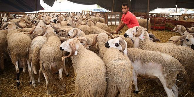 Jerada : Un centre d'insémination artificielle des ovins dans le pipe