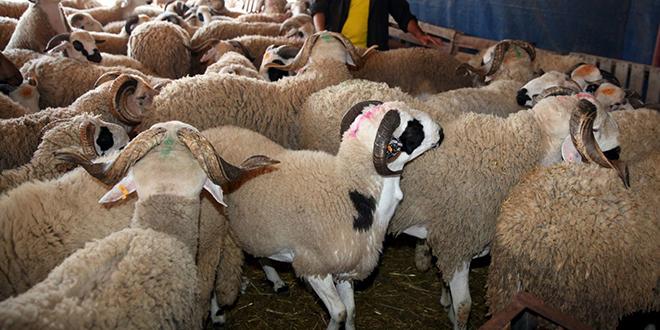 Aïd Al Adha : La demande en moutons stable