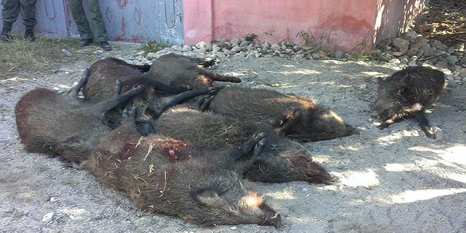 Rabat: Les Eaux et forêts vont poursuivre les battues de sangliers