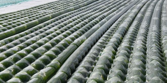 Algues: Omega Green lance un site de production à Safi