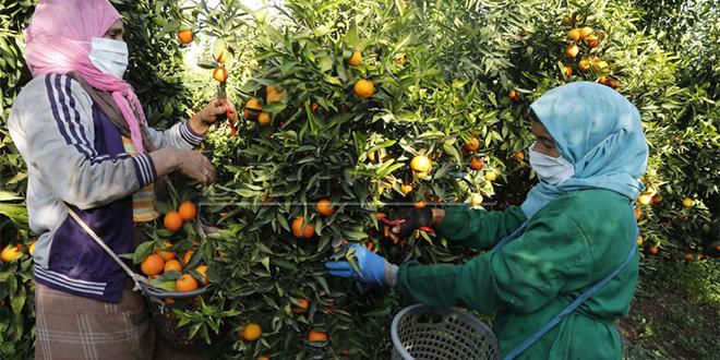 Agrumes: Rabat-Salé-Kénitra booste sa production