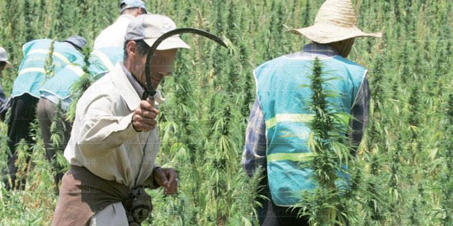 Cannabis: L'énorme potentiel de légalisation