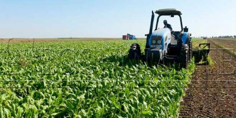 Agriculture/Casablanca-Settat: Record de 14 tonnes de sucre à l'hectare