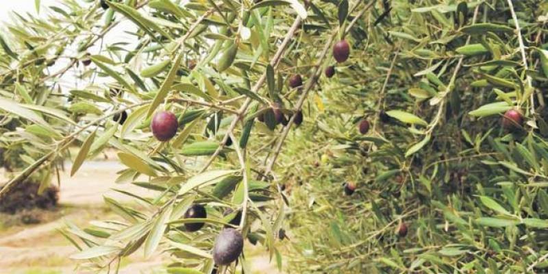 Guercif: L'olivier, star de l'agroalimentaire