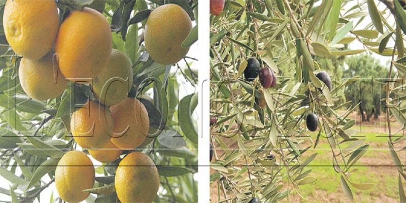 Agro-industrie: Les agrumes et l'olivier éligibles à l'intégration