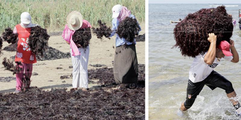 El Jadida: La récolte de l'algue marine lancée