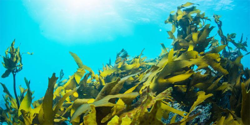 Filière algues: Comment en tirer tous les profits?