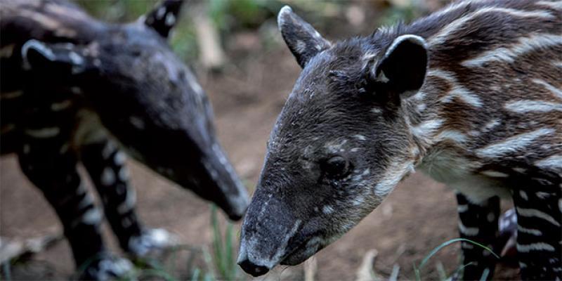 Au Nicaragua, des bébés tapirs porteurs d'espoir pour l'espèce