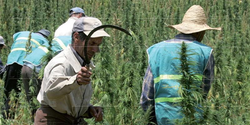 Légalisation du cannabis: Dernière ligne droite