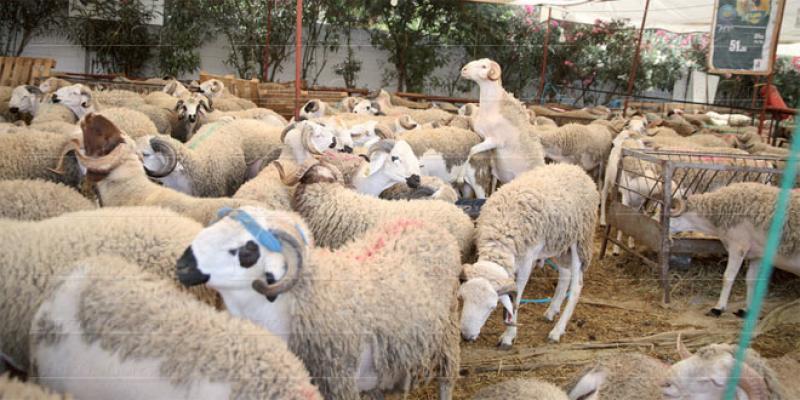 Casablanca-Settat: De l'orge subventionnée pour les éleveurs