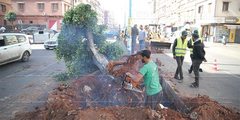 Casablanca: Plus de 2.300 arbres sur la trajectoire des Busway
