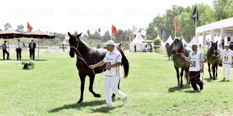 Le cheval Barbe à l'honneur à Meknès