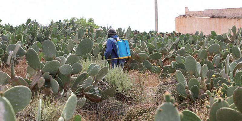 Cochenille de cactus: Les résultats encourageants du plan d'urgence