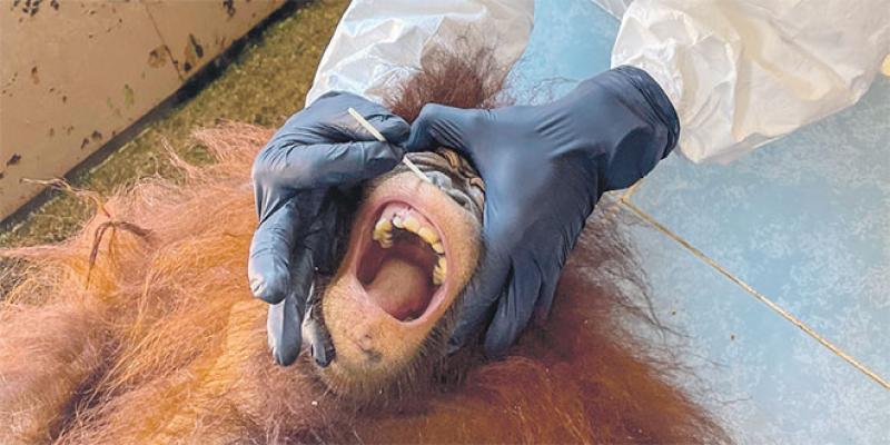 Des orangs-outans testés pour le coronavirus!