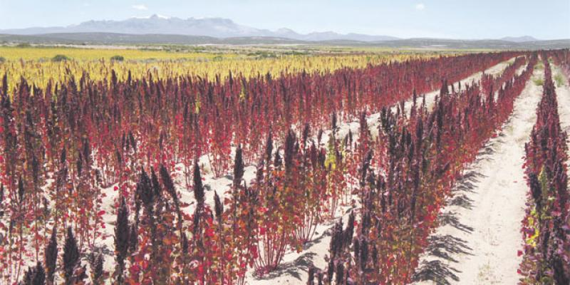Du quinoa pour le développement local de Foum El Oued