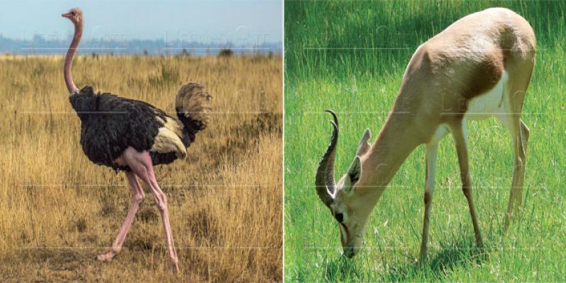 Draa Tafilalet: La faune saharienne s'enrichit avec des gazelles et des autruches