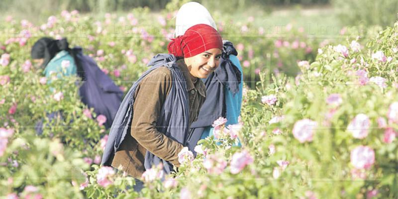 Kelaât M'Gouna perd une partie de ses roses