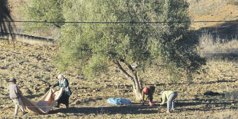 Larache lance son programme d'oliveraies
