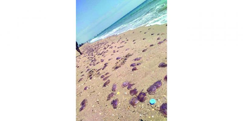 Tétouan: Les méduses envahissent les plages