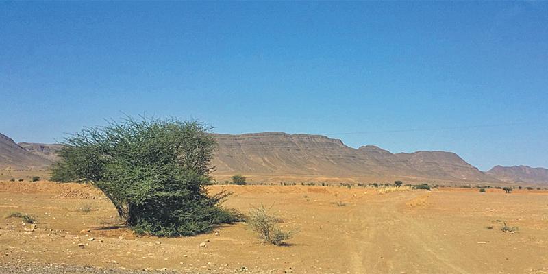 M'hamid El Ghizlane: L'acacia du désert, un potentiel économique caché