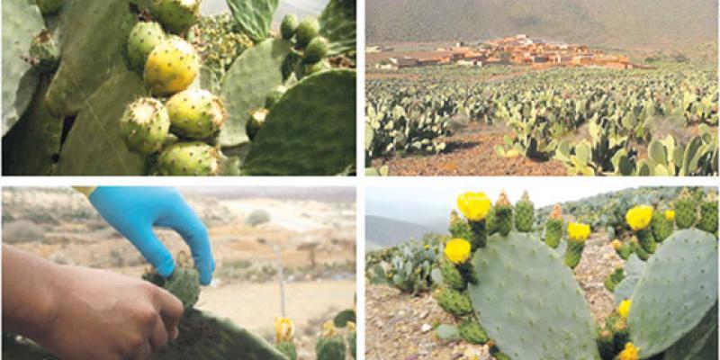 Ait Baâmrane/Cactus: L'or vert pour développer l'agriculture solidaire