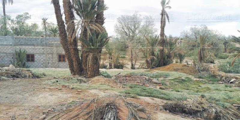 Ouarzazate/Palmier dattier: Sept pistes pour rentabiliser la filière