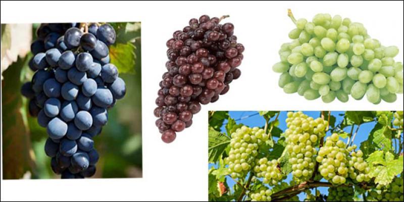 Les raisins de table attirent de plus en plus d'investisseurs