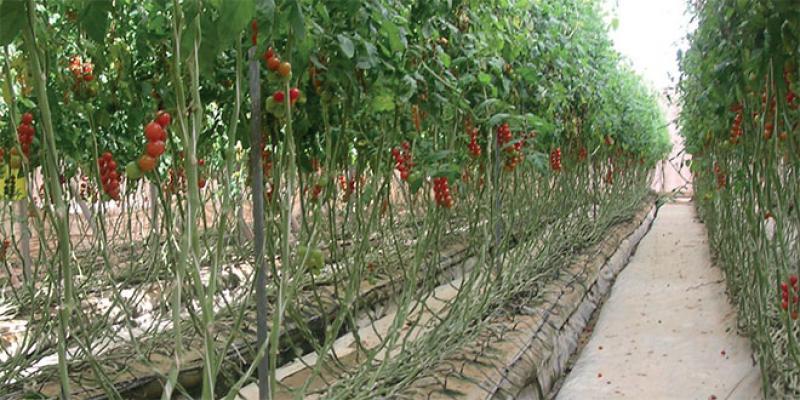 Dossier Dakhla - La révolution agricole en marche