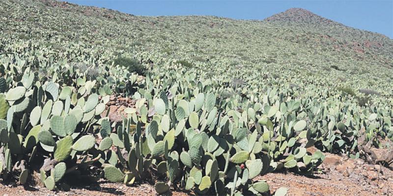 Sidi Ifni/Cactus: Alerte à la cochenille