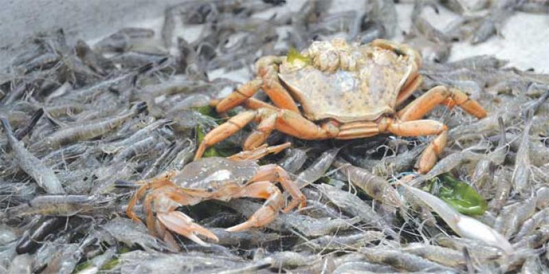 Valorisation des déchets: La science se penche sur le duo crabe-crevette