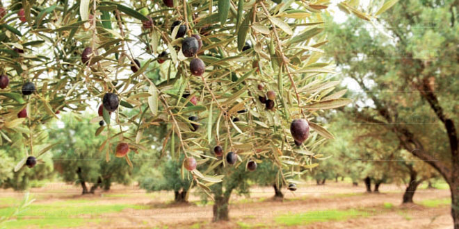 campagne-oleicole-olives-062.jpg