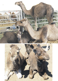 elevage_camelin_000.jpg
