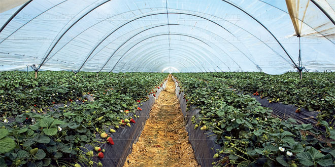 fraises-agriculture-051.jpg