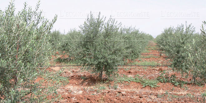 larache-oliviers-015.jpg