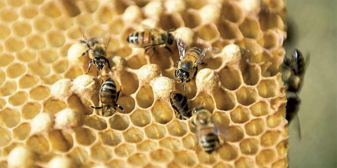 miel-abeille-018.jpg