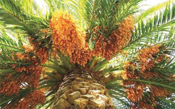 palmier_dattier_059.jpg