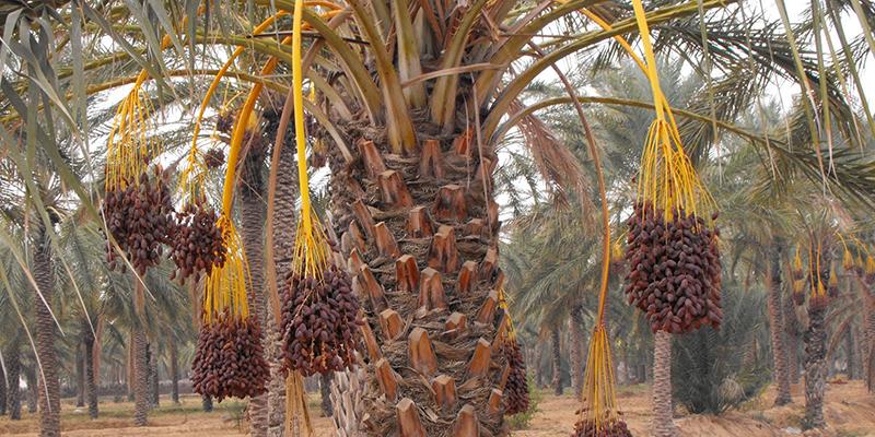 palmier_dattier_trt.jpg