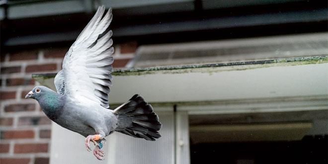 pigeon-voyageur-087.jpg