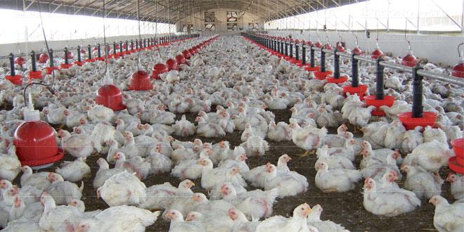 poulets-054.jpg