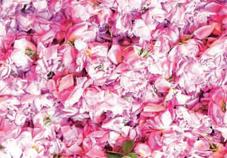 rose_a_parfum_2_013.jpg