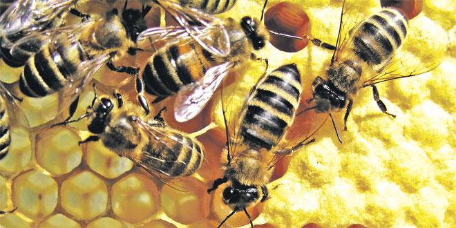ruches-dabeilles-miel-081.jpg